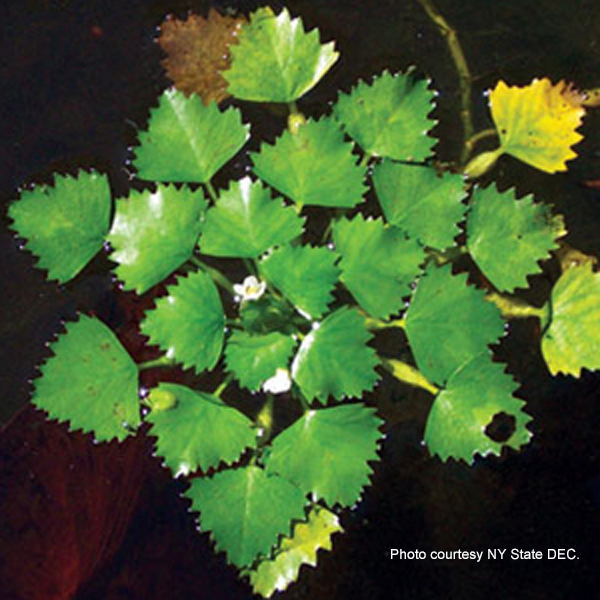A photo of European water chestnut.
