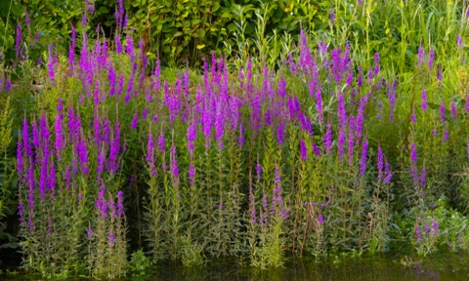 Invasive Stream and Wetland Plants