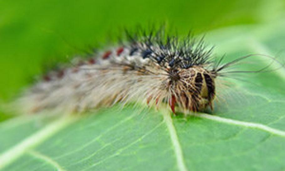 Gypsy Moth Program