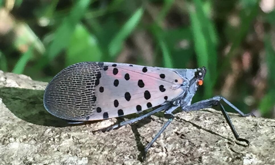 Free Spotted Lanternfly Seminar