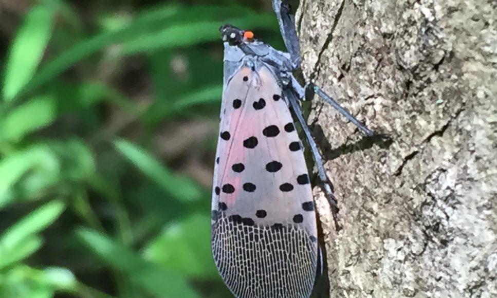 Beginners Guide to Spotted Lanternfly