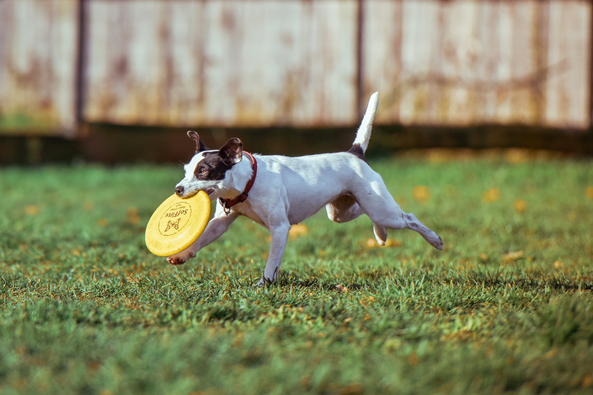 Small dog running through a yard with a frisbee in it's mouth