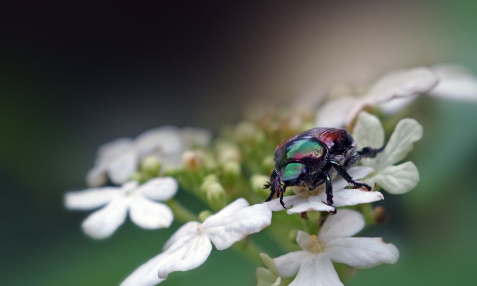 Invasive Species Series 2020: Japanese Beetle (Popillia japonica)