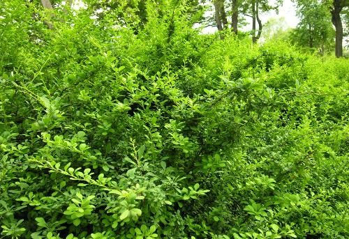 japanese barberry invasives